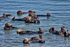 Koloni av havsuttrar i Elkhorn Sleugh i Monterey, CA royaltyfri fotografi