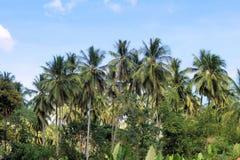 Koloni av kokospalmer Lantgård philippines Royaltyfri Fotografi