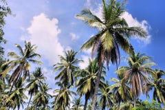 Koloni av kokospalmer Lantgård philippines Royaltyfria Foton