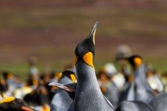 Koloni av konungen Penguins Arkivfoto