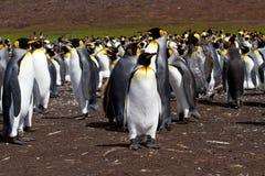 Koloni av konungen Penguins Royaltyfri Bild