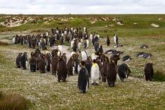 Koloni av konungen Penguins Fotografering för Bildbyråer