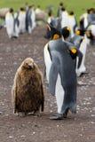 Koloni av konungen Penguins Arkivbilder