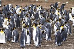 Koloni av konungen Penguins - Falkland Islands Royaltyfri Foto