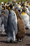 Koloni av konungen Penguins med en fågelunge Fotografering för Bildbyråer