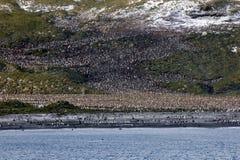 Koloni av konungpingvin Royaltyfri Foto
