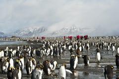 Koloni av konungpingvin med mänskliga besökare Royaltyfri Fotografi