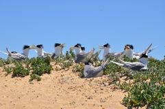 Koloni av krönade tärnor på pingvinön royaltyfri fotografi