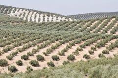 Koloni av olive trees, Andalusia (Spanien) Royaltyfria Bilder