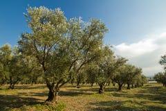 Koloni av olivgröna trees Royaltyfri Bild