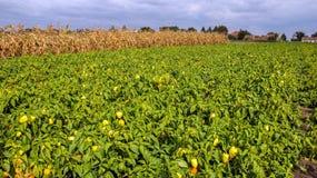 Koloni av peppar i fältet Arkivfoto