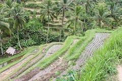 Koloni av ris i Bali Arkivfoto