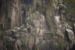 Koloni av sillgrisslamurrefåglar som bygga bo och roosting på klippafa Arkivfoton