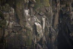 Koloni av sillgrisslamurrefåglar som bygga bo och roosting på klippafa Royaltyfri Fotografi