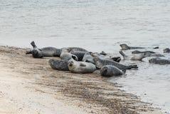 Koloni av skyddsremsor som ligger på stranden Royaltyfria Bilder