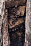 Koloni av slagträn som hänger på grottaväggen Fotografering för Bildbyråer
