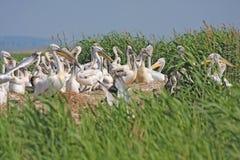 koloni dalmatian pelikan obraz royalty free