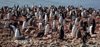 Koloni för Chinstrip pingvinavel, Antarktis Royaltyfria Bilder