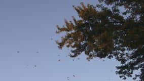 Koloni för flyttning för monarkfjäril lager videofilmer