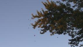 Koloni för flyttning för monarkfjäril arkivfilmer