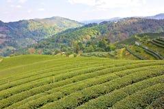 Koloni för grön tea Arkivbilder