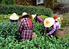 Koloni för grön tea Arkivbild