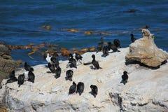 Koloni för havsfågel Royaltyfri Bild