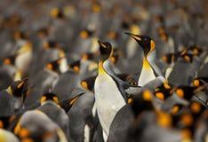Koloni för konungpingvin i Falklandsöarnaen Royaltyfri Fotografi