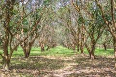 Koloni för mangoträd i Nakhon Nayok Royaltyfri Fotografi