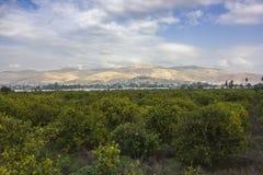 Koloni för orange träd med mogna frukter i Jordan Valley Royaltyfri Fotografi