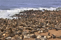 Koloni för uddpälsskyddsremsa - Namibia Arkivfoto