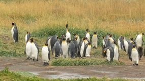 Koloni f?r konung Penguin royaltyfri bild
