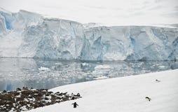 koloni galacier schronienia neko pingwin Zdjęcia Royalty Free