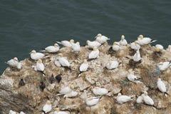 koloni gannet Fotografia Stock
