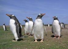 koloni gentoo pingwiny Obrazy Stock