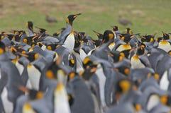 koloni królewiątka pingwiny Obrazy Royalty Free