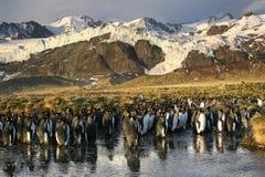 koloni królewiątka pingwiny Fotografia Royalty Free