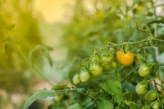 Koloni med den nya tomaten växande tomat Ny tomat en gro Arkivfoto