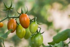 Koloni med den nya tomaten växande tomat Ny tomat en gro Arkivbilder
