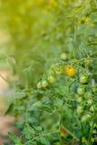Koloni med den nya tomaten växande tomat Ny tomat en gro Royaltyfria Bilder