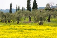 Koloni med gamla olivträd och den gula blomstra ängen, ea arkivfoton