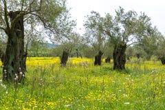 Koloni med gamla olivträd och den gula blomstra ängen, ea royaltyfria foton