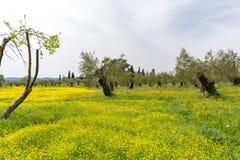 Koloni med gamla olivträd och den gula blomstra ängen, ea royaltyfri fotografi