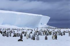 Koloni och isberg för kejsarepingvin (Aptenodytesforsteri) Arkivfoto