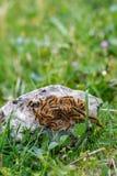 Koloni päls- larver för brunt på granitstenen royaltyfri fotografi