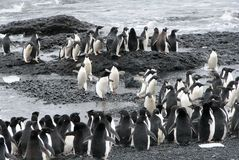 Kolonia Adelie pingwiny Zdjęcia Royalty Free