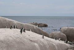 Kolonia Afrykańscy pingwiny na głazach wyrzucać na brzeg Zdjęcie Royalty Free