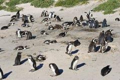 Kolonia Afrykańscy Jackass pingwiny Fotografia Stock