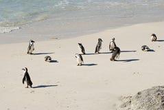 Kolonia Afrykańscy Jackass pingwiny Zdjęcia Stock