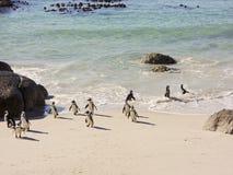 Kolonia Afrykańscy Jackass pingwiny Obrazy Royalty Free
